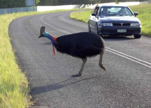 Cassowary crossing road near oncoming car.